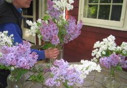 Lilacs3_3