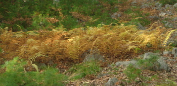 Blazing_fall_ferns